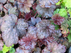 Key Lime and Chocolate Heuchera