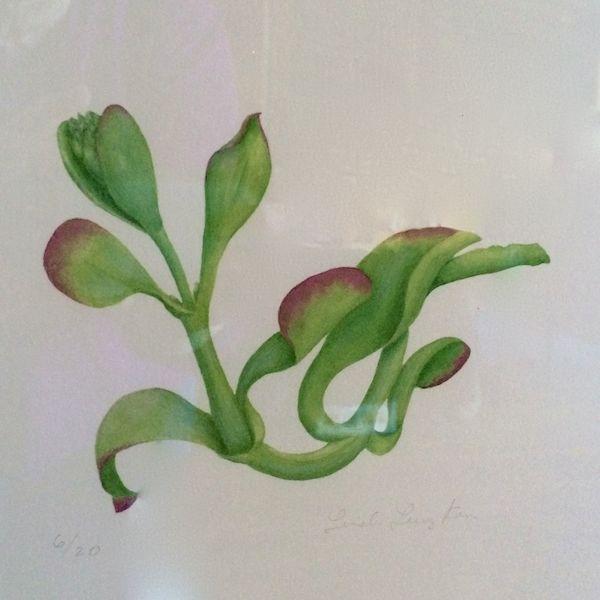 Paddle Plant Watercolor Linda Kam