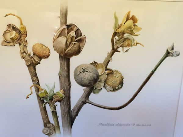 Franklinia Capsules Watercolor Dick Rauh