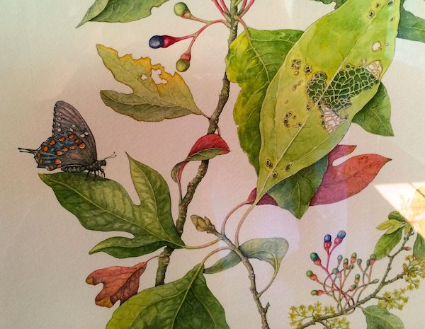 Sassafras and Spicebush Swallowtail Watercolor Wendy Cortesi