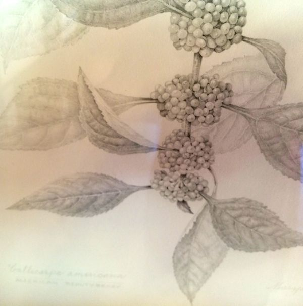 Beautyberry Graphite on paper Maryann Roper