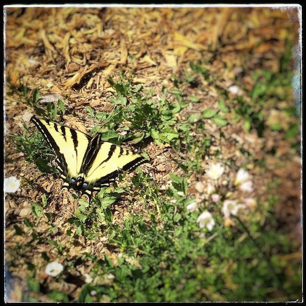 Swallowtail looking for new dwarf Butterflybush!